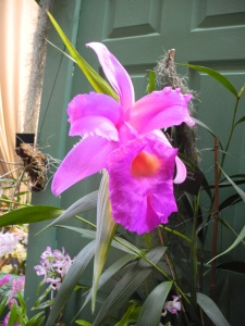 Sobralia Macrantha in flower at the EOC