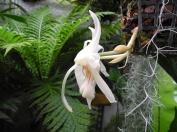 Stanhopea grandiflora