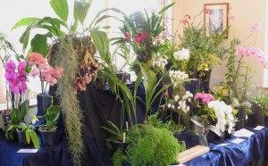 Our display at Croyden Orchid Society Show