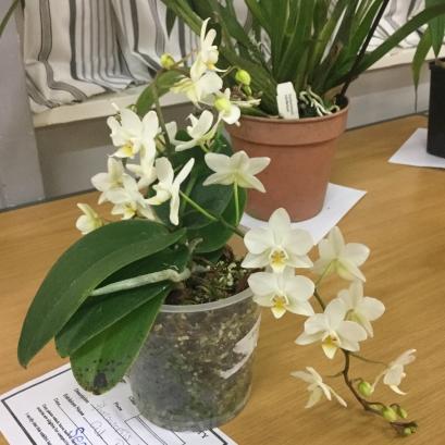 Phalaenopsis Class