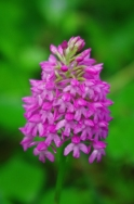Class One : 5 Wild Pyramid Orchid